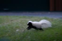 hooded skunk 1